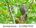 starling chick  first summer ... | Shutterstock . vector #1113867533