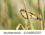the eurasian reed warbler  ... | Shutterstock . vector #1114002257