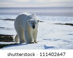 Polar bear, Greenland - stock photo