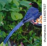 taiwan blue magpie  urocissa...   Shutterstock . vector #1114037537