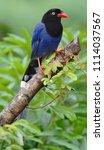 taiwan blue magpie  urocissa...   Shutterstock . vector #1114037567