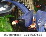 taiwan blue magpie  urocissa...   Shutterstock . vector #1114037633