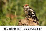 great spotted woodpecker and... | Shutterstock . vector #1114061657