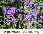 large group of flowering... | Shutterstock . vector #1114080947