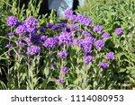 large group of flowering... | Shutterstock . vector #1114080953