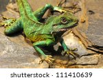 The plumed basilisk, Basiliscus plumifrons, also called a green basilisk or double crested basilisk and Jesus Christ Lizard. - stock photo