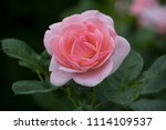 rose flower closeup. shallow... | Shutterstock . vector #1114109537