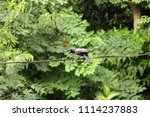 Small photo of Black crow open the beak and perch on the wire with green leaves background. It is a large perching bird with mostly glossy black plumage, a heavy bill, and a raucous voice.