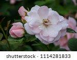rose flower closeup. shallow... | Shutterstock . vector #1114281833