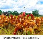 chicken on green grass   nature | Shutterstock . vector #1114366217