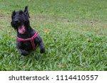 black scottish terrier jumping  ... | Shutterstock . vector #1114410557