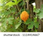 a ripe bitter gourd in the... | Shutterstock . vector #1114414667