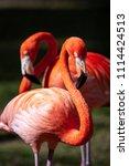 portrait of a pair of flamingo... | Shutterstock . vector #1114424513