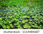 swamp and grass of everglades... | Shutterstock . vector #1114484687