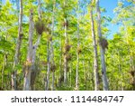 swamp and grass of everglades... | Shutterstock . vector #1114484747