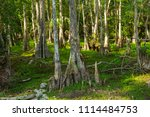 swamp and grass of everglades... | Shutterstock . vector #1114484753