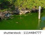 swamp and grass of everglades... | Shutterstock . vector #1114484777