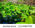 swamp and grass of everglades... | Shutterstock . vector #1114484783