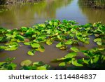 swamp and grass of everglades... | Shutterstock . vector #1114484837