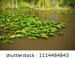 swamp and grass of everglades... | Shutterstock . vector #1114484843