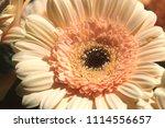 light yellow  beige gerbera... | Shutterstock . vector #1114556657