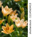 flowers of orange lilies on the ... | Shutterstock . vector #1114563413