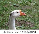 white goose portrait. domestic... | Shutterstock . vector #1114664363