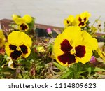 the purple face of the yellow... | Shutterstock . vector #1114809623