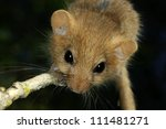 Portrait of hazel dormouse, closeup - stock photo