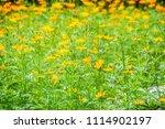 field of yellow cosmos...   Shutterstock . vector #1114902197