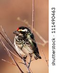 Small photo of An Acacia Pied Barbet sitting on a twig in the sunshine