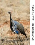 Small photo of Vulturine Guineafowl (Acryllium vulturinum), Samburu, Kenya