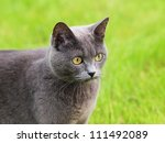 Gray cat portrait - stock photo