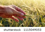 farmer hand holding the ear of... | Shutterstock . vector #1115049053