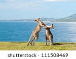 This image shows Kangaroos fighting in Emerald Beach, Australia - stock photo