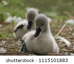 Baby Swans  Cygnets  Sitting...