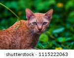 the male cat is staring at the... | Shutterstock . vector #1115222063