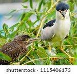 black crowned night heron ... | Shutterstock . vector #1115406173