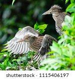 black crowned night heron ... | Shutterstock . vector #1115406197