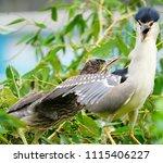 black crowned night heron ... | Shutterstock . vector #1115406227
