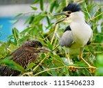 black crowned night heron ... | Shutterstock . vector #1115406233