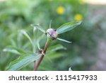unopened bud of peony in the... | Shutterstock . vector #1115417933