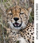 """Small photo of Cheetah with face expression saying """"Yeah"""""""