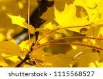 golden maple leaves exhibiting... | Shutterstock . vector #1115568527