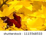 solitary red leaf embedded... | Shutterstock . vector #1115568533