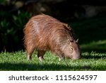 capybara  biggest rodent in the ... | Shutterstock . vector #1115624597