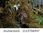 single trillium flower | Shutterstock . vector #1115706947