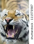 Close Up Of A Tiger As Ready T...