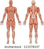 Anatomy Of Male Muscular Syste...
