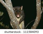 A Brushtail Possum  Australia